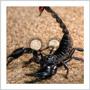 totem scorpion